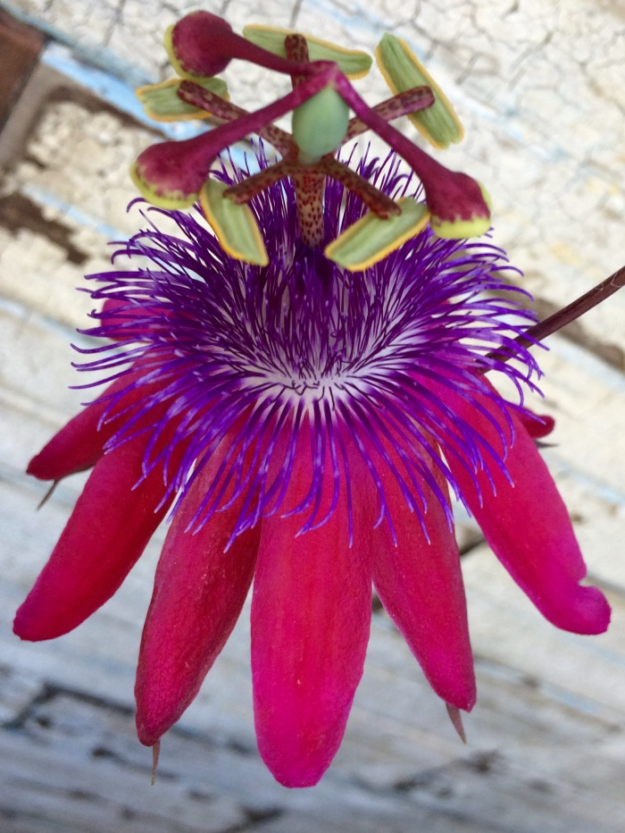 Passion Flower Native Camera