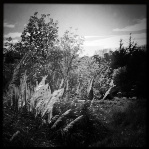 Pampa Grass and Willow