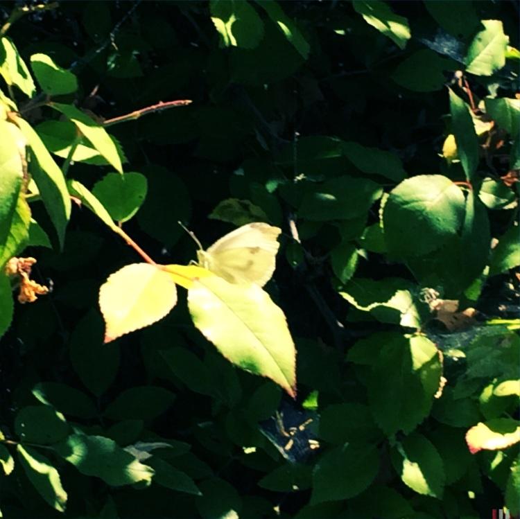 Leaf Impersonator