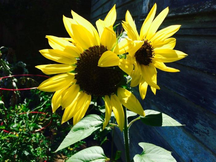 Sun lights up Sunflowers