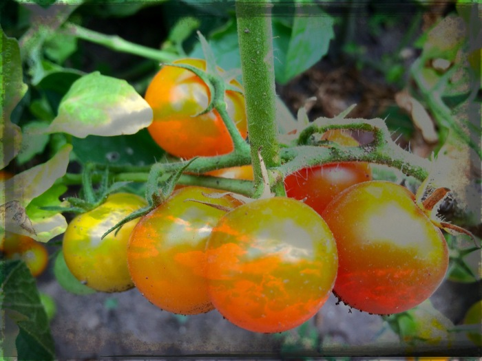 Sum Gold Tomatoes With Clouds