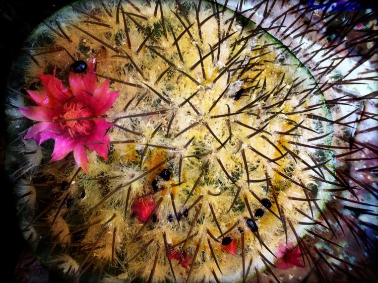 Watermelon Cactus