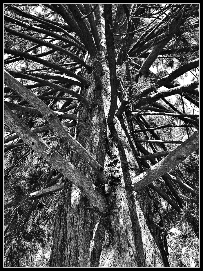 Looking up into the branches of a Cedar Tree