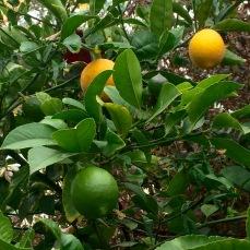 My own lemons