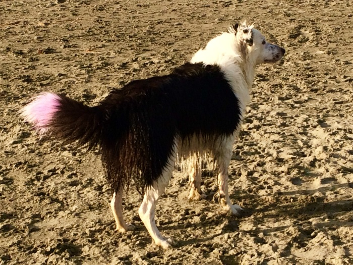 Dog With Purple Tail