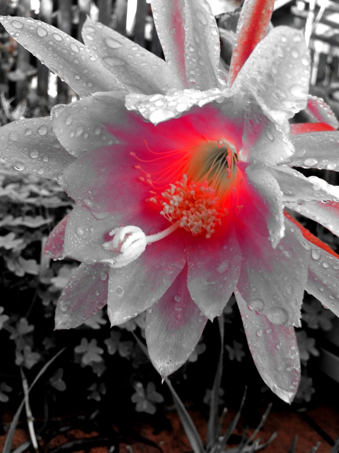 Red hot Black and White Flower