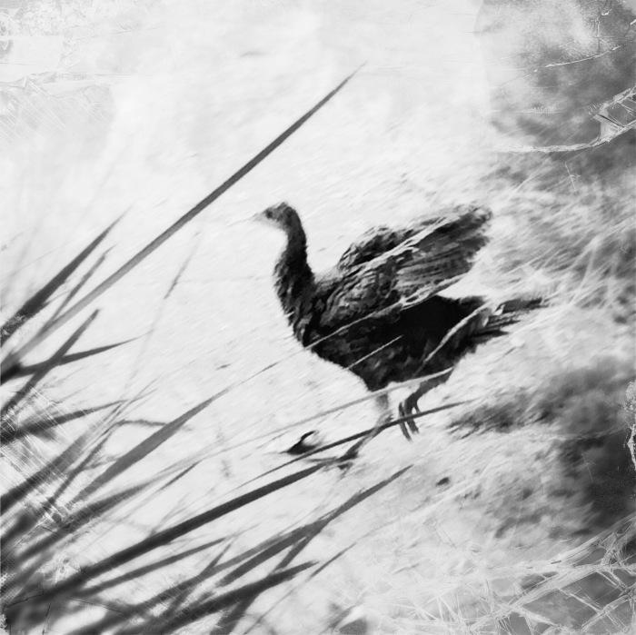 Bird (baby turkey)