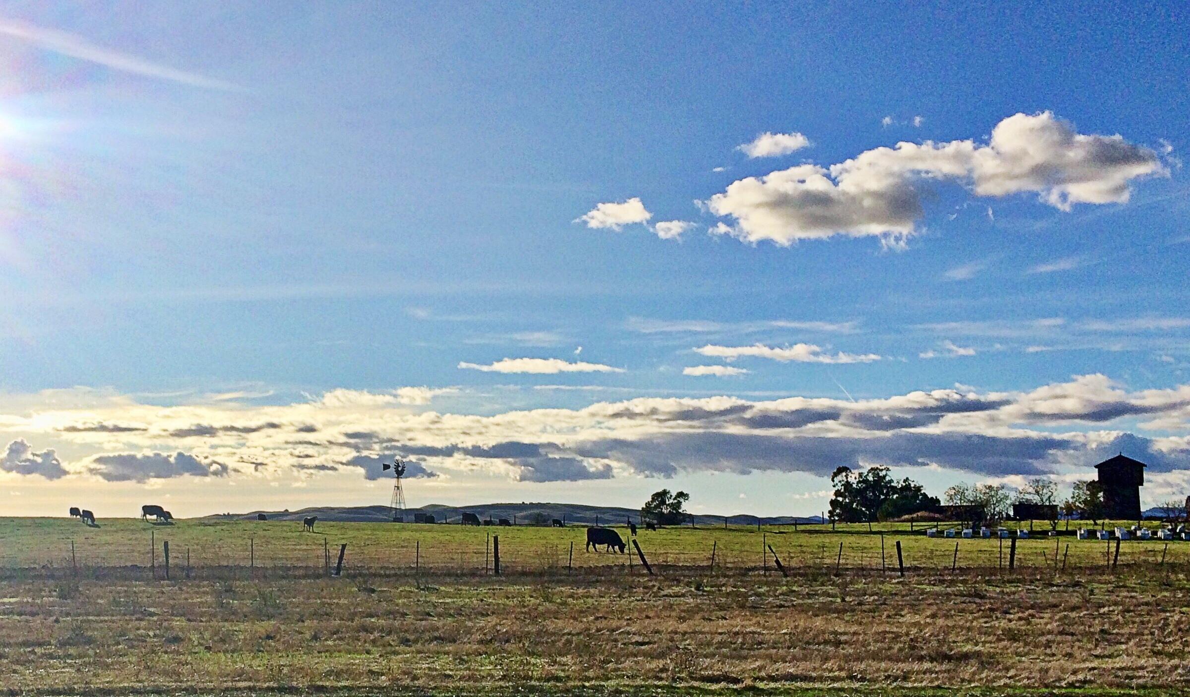 I-12 cows