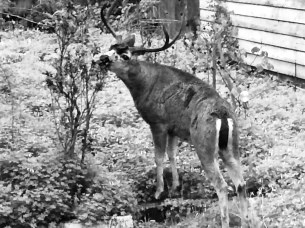 Deer putting his tongue on my flowers