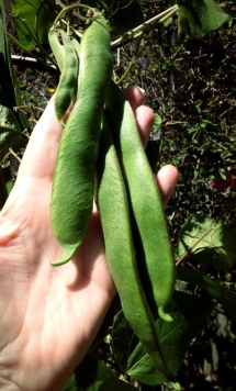 My Big Green Beans