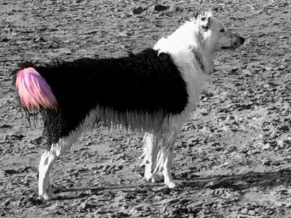 Strawberry Dipped Boarder Collie