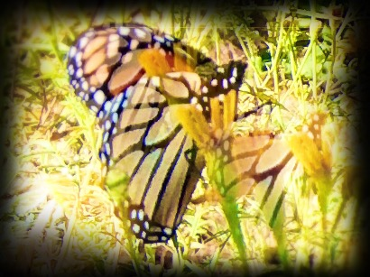 Monarchs come back the same time every year