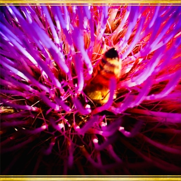 Honey Bee on artichoke flower