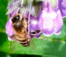 Honey bee on comfrey