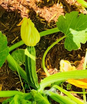 Zucchini blooming