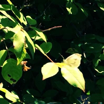 Spring Leaf pretender butterfly