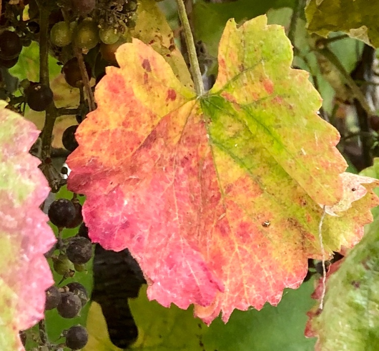 Grape leafs