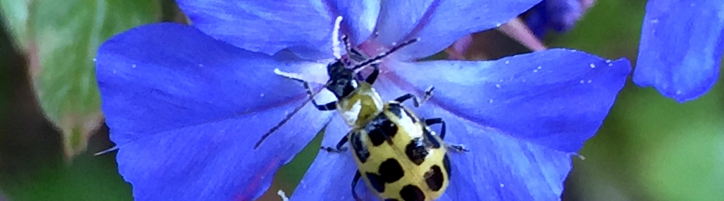Spotted bug