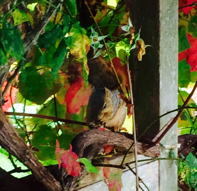Squirrel and grape leaves