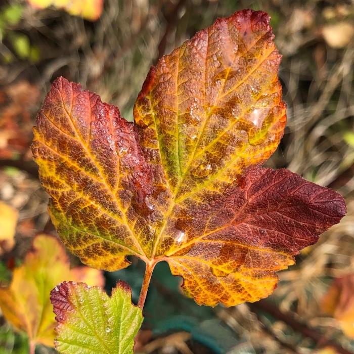 Multi colored leaf