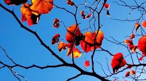 Orange leaves and Blue Sky