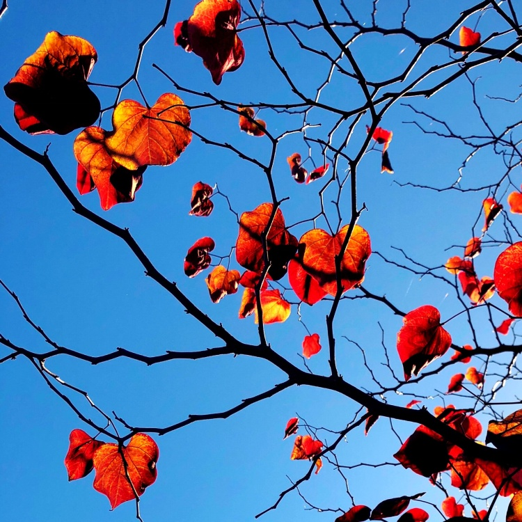 Orange leaves and Blue Sky