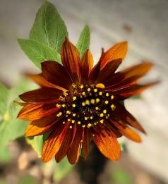 Brown sunflower