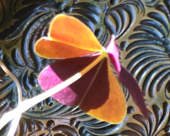 Oxalis and a ceramic plate