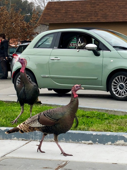 Dog vs turkey