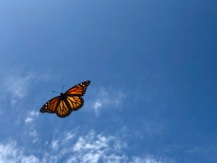 Monarch that flew into view