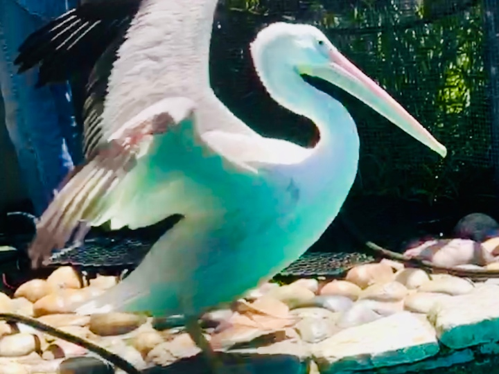 Pelican at wild care
