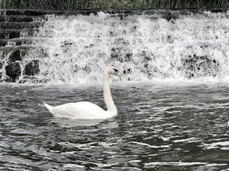 English Swan