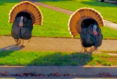 Neighborhood Turkeys