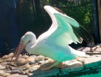 Another Pelican