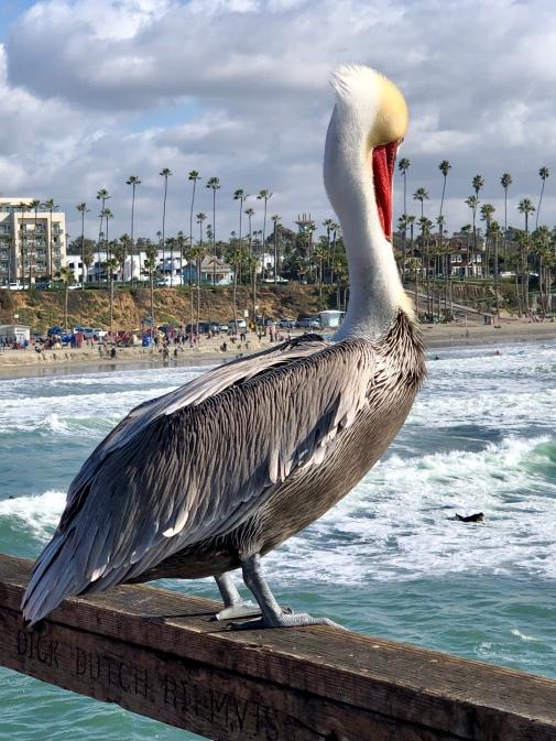 San Diego Pelican eyes surfer