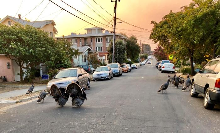 Turkeys on Jackson street