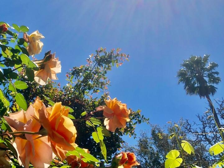 Sun on roses