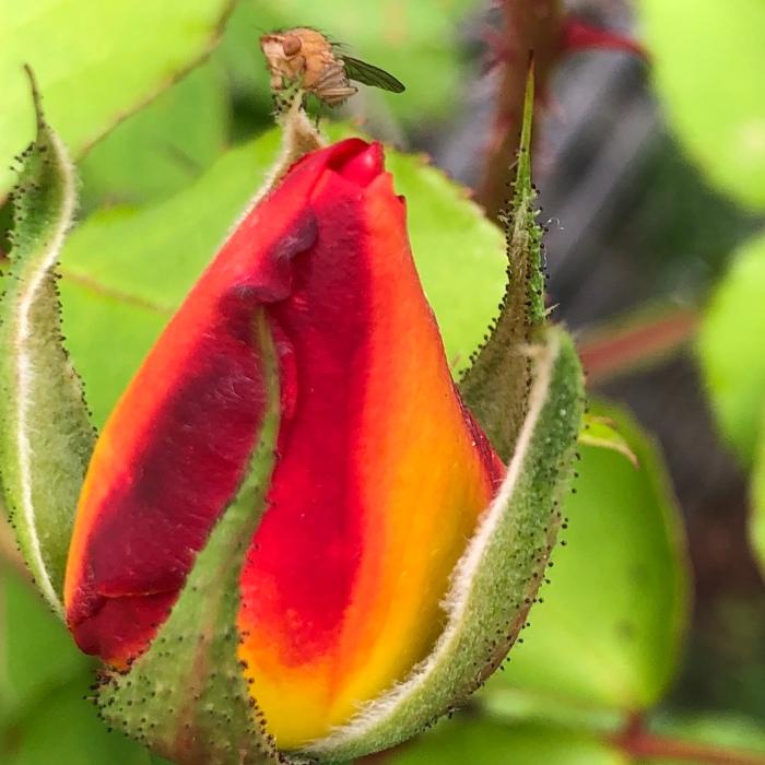 Gnat on rose