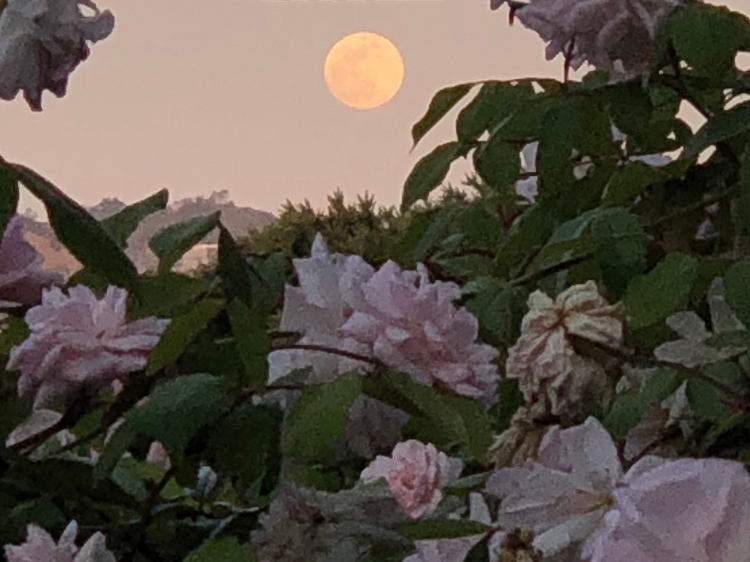 Roses and moon