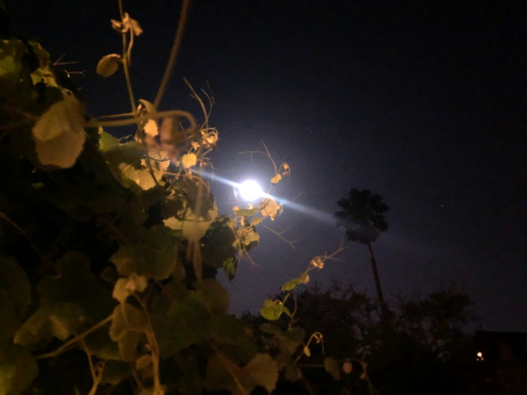 Moon and grape vine