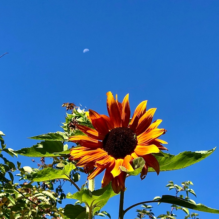 Sunflower and setting moon