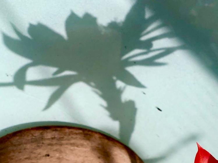 Shadow of cactus flower