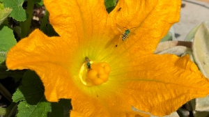 Zucchini flower with green bee