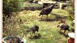 Turkeys August 202