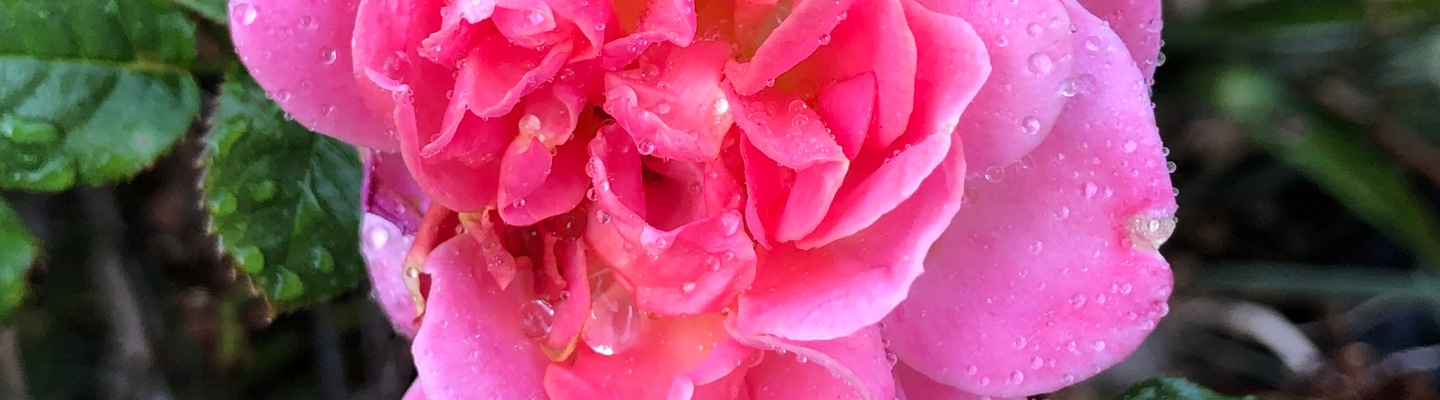 Water on rose