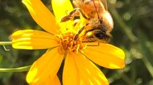 Bee on Marigolds