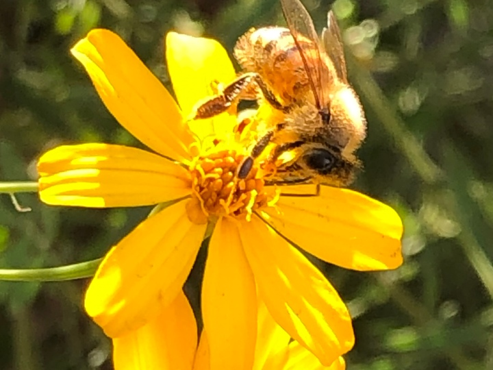 Bee on Marigolds