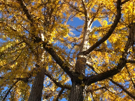 Up into the Ginkgo