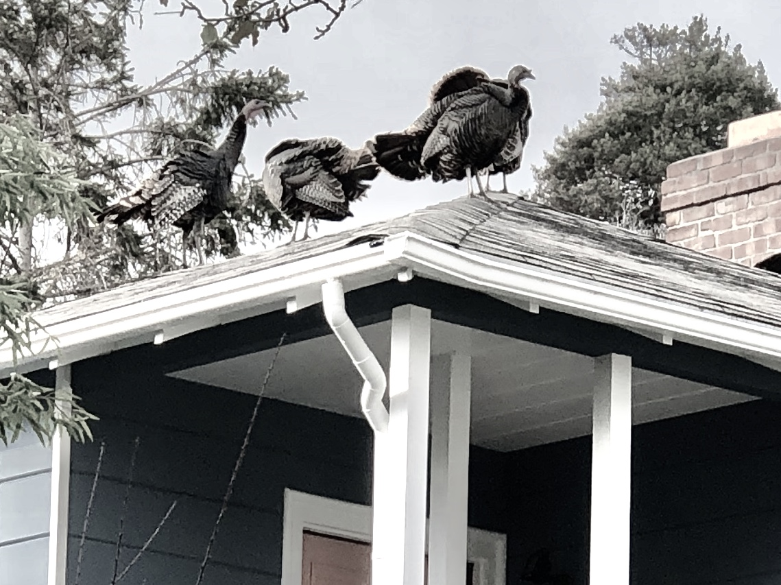 Roof turkeys